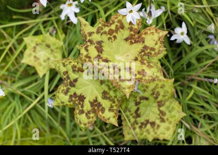 Podophyllum peltatum - spotty dotty - at the Oregon Garden in Silverton, Oregon, USA. - Stock Image