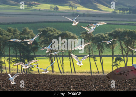 Milnathort, Orwell, Kinross-shire, Scotland, UK - 26 October 2018: uk weather - black headed gulls in winter plumage swoop and dive on a bright autumn day looking for worms unearthed by a plough in fields close to Milnathort, Kinross-shire Credit: Kay Roxby/Alamy Live News - Stock Image