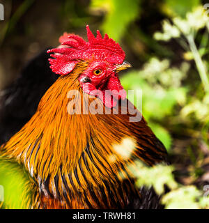 A red rooster cockerel in full colour display. - Stock Image