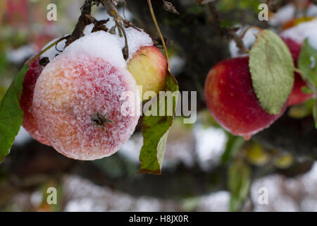 Frosty apples - Stock Image
