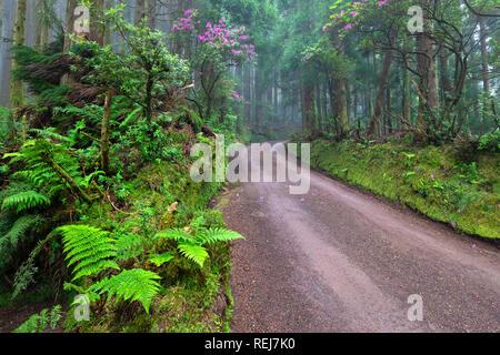 Picturesque dirt road in the rainforest in area surrounding Lagoa das Empadadas lake, Sao Miguel island, Azores, Portugal - Stock Image