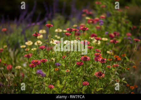 Red and Yellow Zinnias in Garden - Stock Image