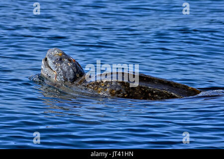 Leatherback Sea Turtle (Dermochelys coriacea) surfacing next to the whale watching boat - Stock Image