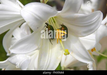 (Golden Beetle) [Goldie beetle] (Cetonia aurata) (Green beetle) (Rose chafer) (cetonia aurata) eat white lilies. - Stock Image