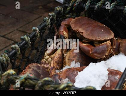 Live crabs on ice in Oban, Scotland, UK, Europe - Stock Image