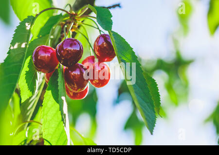 Beautiful ripe red cherry berries are hanging on a branch with foliage in the garden - Stock Image