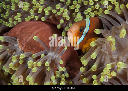 Red sea anemonefish, Sudan (Amphiprion bicintus) - Stock Image