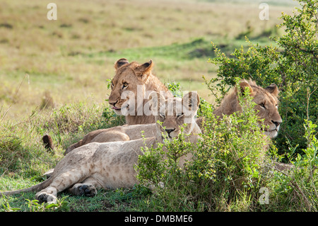 Three young lions, Panthera leo, lying down together in the Masai Mara National Reserve, Kenya, East Africa - Stock Image