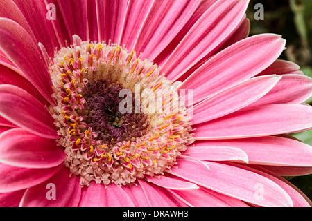 Pink Gerbera Flower - Stock Image