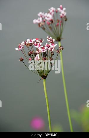 Flowering Rush, Butomus umbellatus, Butomaceae. - Stock Image