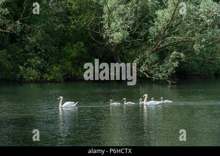 Pair Mute swans with six cygnets - Stock Image
