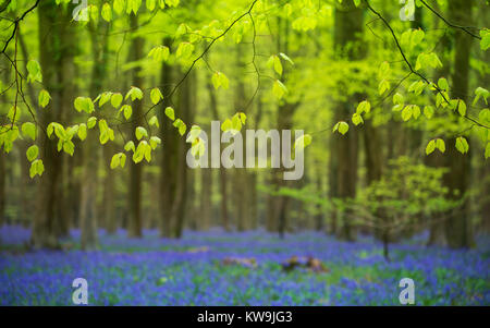 Beech Leaves and Bluebells - Stock Image