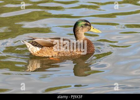First season juvenile Drake mallard duck - Stock Image