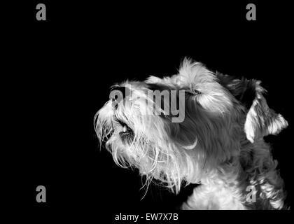 Dog howling - Stock Image