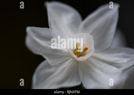 White narcissus macro shot with dark backgound and copyspace - Stock Image