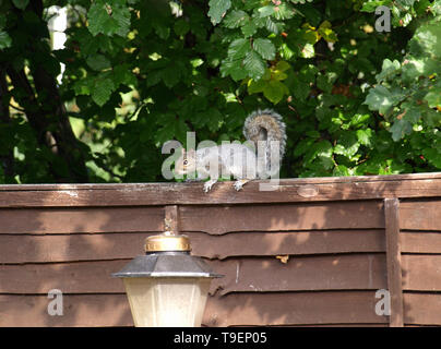 Grey squirrel searching for food in urban garden - Stock Image