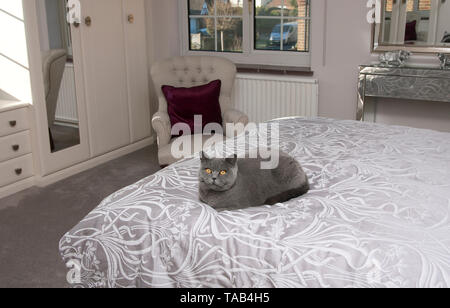 British Blue Shorthair Cat, Portrait single male adult, Sitting at home on bed, England, UK - Stock Image