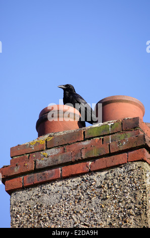 Carrion Crow on domestic chimney - Stock Image