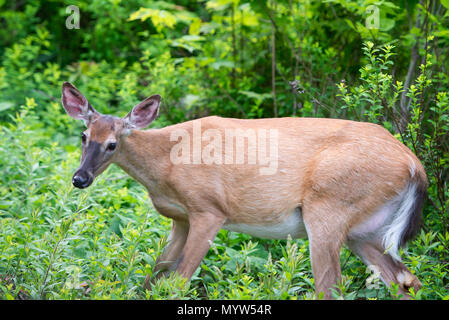A pregnant whitetail deer doe, Odocoileus Virginianus, standing on the edge of the Adirondack wilderness near Indian Lake, NY USA - Stock Image