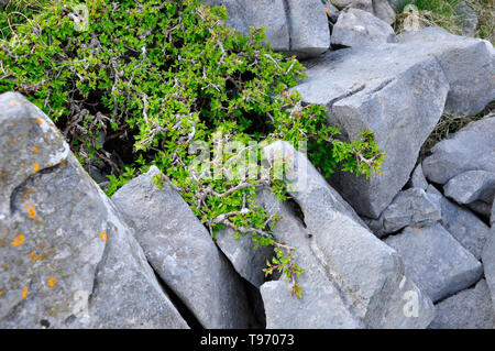 Stunted Hawthorn bush growing in a  Carboniferous limestone outcrop on the mountain side above Dan-yr-Ogof caves in the Black Mountains,South Wales,UK - Stock Image