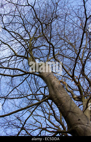 empty branches in front of a blue sky - Stock Image