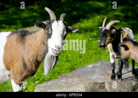 One goat is close and two other goats are slightly further - Stock Image