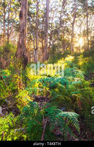Karri trees (Eucalyptus diversicolor) at Boranup Forest in Leeuwin-Naturaliste National Park, Margaret River, Australia - Stock Image