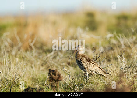 Eurasian Curlew, Latin name Numenius arquata, calling while standing among rough moorland terrain in the North York - Stock Image
