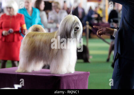 New York, United States. 11th Feb, 2019. Westminster Dog Show - New York City, 11 February, 2019: A Tibetan Terrier, GCHB CH Dreammaker Salishan Starry Starry Night, sits atop the judging table during the Best of Breed Competition at the 143rd Annual Westminster Dog Show in New York City. Credit: Adam Stoltman/Alamy Live News - Stock Image