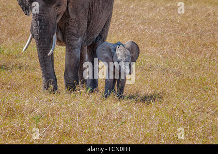 Small Baby African Elephant, protected by its mother, Loxodonta africana, Masai Mara National Reserve, Kenya, East - Stock Image