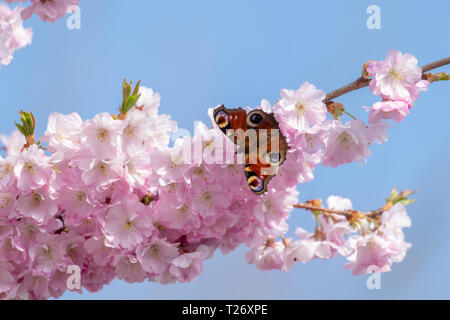 Peacock butterfly collecting pollen from cherry blossom tree as the UK experiences unusually warm weather in late March - Stock Image