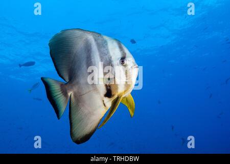 Longfin Batfish, Platax teira, Tufi, Solomon Sea, Papua New Guinea - Stock Image