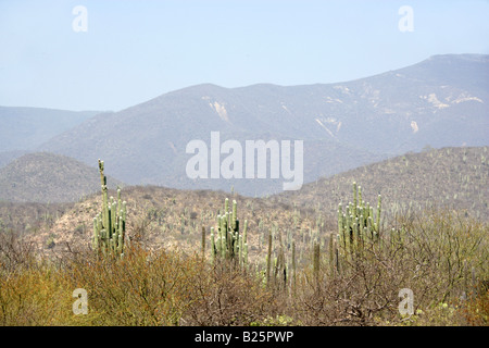 Sierra Madre Foothills, Scrubland with Tall Long Cacti, Near Oaxaca City, Oaxaca, Mexico - Stock Image