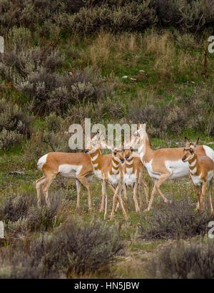 American Pronghorn Antelope - Stock Image