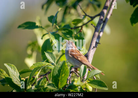Eurasian tree sparrow, Passer montanus, adult, perched on an apple tree branch, Koros-Maros National Park, Bekes County, Hungary - Stock Image