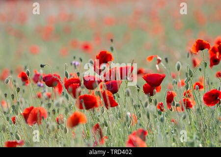 Poppys in field at sunset. Hertford, UK. The field is next to the A414 between Hertford and Welwyn Garden City - Stock Image