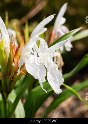 White, late summer  flowers of the hardy perennial ginger, Roscoea × beesiana 'Monique - Stock Image