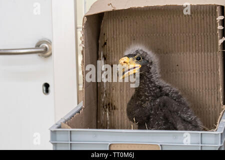 One month old Steller's sea eagle (Haliaeetus pelagicus) chick in plastic box, hatched in captivity in zoo - Stock Image