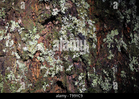 Beautiful closeup photo of the surface of a very old tree located in the forests of Madeira. On the tree trunk you can see silver colored lichen. - Stock Image