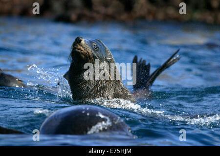 Seals - Stock Image