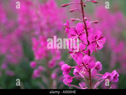 Close up of Purple Loosestrife flowers - Stock Image
