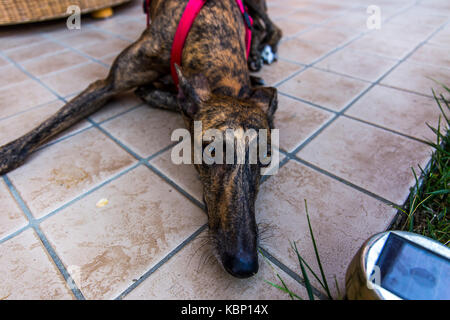 Close up to a laying dog's mouth. (Greyhound with tiger fur). - Stock Image