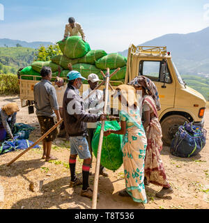 Square view of tea plantation workers weighing bales of tea leaves in Munnar, India. - Stock Image