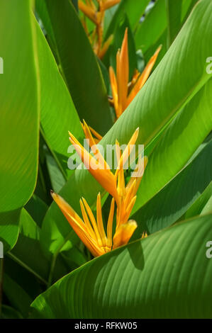 Heliconia psittacorum x spathocircinata golden torch - Stock Image