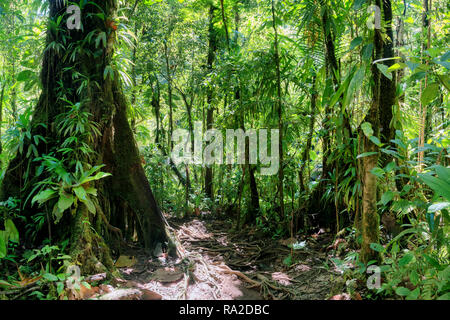 inside a green luxurious tropical jungle path, guadeloupe, french west indies - Stock Image