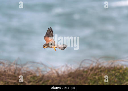 A Common Kestrel Falco tinnunculus hovering and hunting. - Stock Image