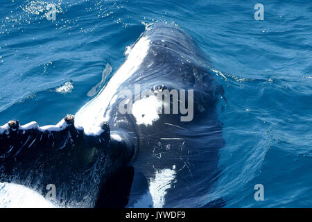 Close-up encounter with a curious Humpback Whale (Megaptera novaeangliae) at Hervey Bay, Australia. Photo series 2 of 3 - Stock Image