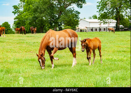 Horse and foal on a Kentucky horse farm - Stock Image