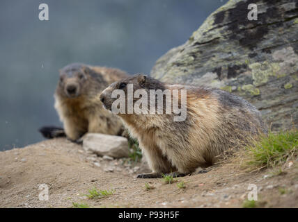 Marmots in Saas-Fee - Stock Image