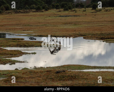 A young (11 months old) English Springer spaniel dog explores a flooded large puddle in the New Forest UK after heavy rain fall. - Stock Image